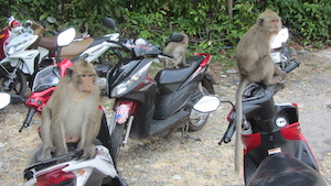 monkey on thai island